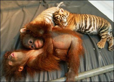 Cubs_and_orang_utans